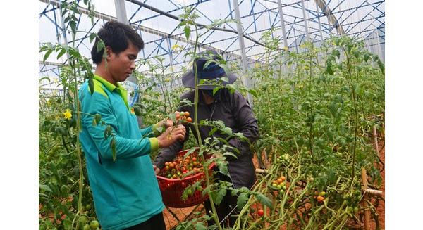 Thu hoạch cà chua tại gia đình anh Nguyễn Định. Ảnh: Thạch Thảo