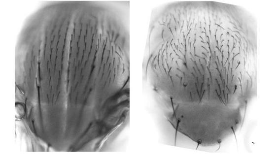 Loài ruồi giấm với nhóm protein retinoblastoma ở bên trái có phần lông cánh gọn gàng, trong khi phần lông của nhóm bên phải mọc lộn xộn theo các hướng khác nhau
