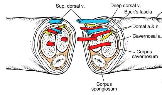 Bác sĩ phải nối các động mạch, tĩnh mạch, dây thần kinh, da và niệu đạo của bệnh nhân.