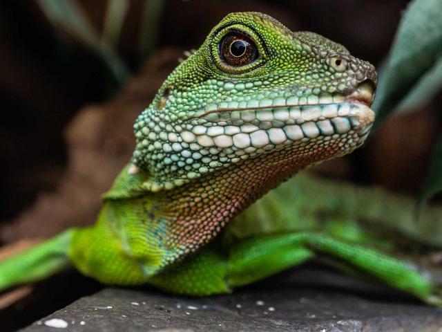 Trung Quốc-nước-dragon-thằn lằn