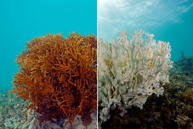 Hình ảnh so sánh 2 cá thể san hô trước và sau khi chết đi.