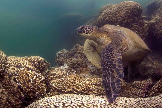 Tấm ảnh chú rùa xanh trên một rạn san hô bị tẩy trắng được chụp tại Hawaii vào cuối năm 2014.