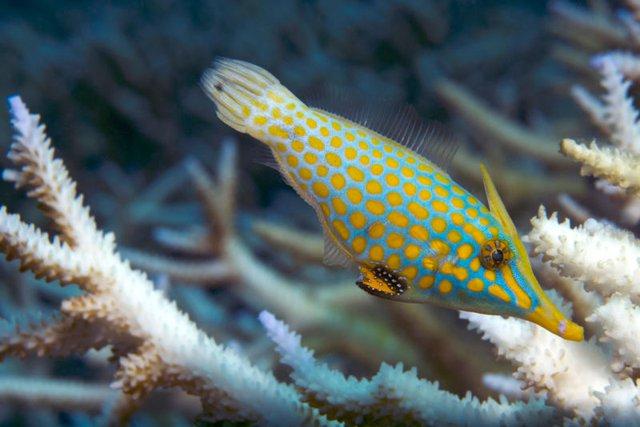 Loài cá mũi dài đang chật vật tìm polyp san hô để ăn. Những loài cá nóc gai này hoàn toàn phụ thuộc vào các rạn san hô khỏe mạnh để tìm kiếm thức ăn.