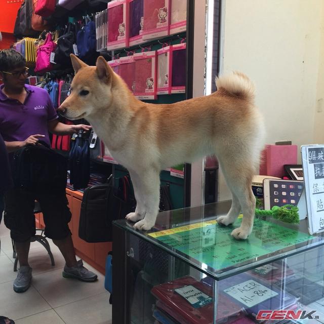 Một chú chó đứng trên gian hàng của chủ tại Guang Hua Digital Plaza.