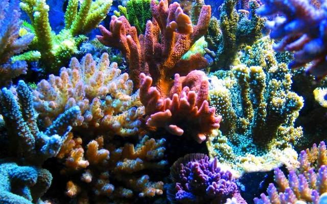 Những rạn san hô tuyệt đẹp như thế này có nguy cơ biến mất vào năm 2050.