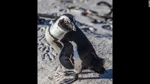 Khí hậu nóng ấm phương Nam là điều kiện lý tưởng cho loài chim cánh cụt Jackass, hay còn gọi là chim cánh cụt châu Phi. Bạn có thể tìm thấy chúng dọc bờ biển Cape Town, Nam Phi.