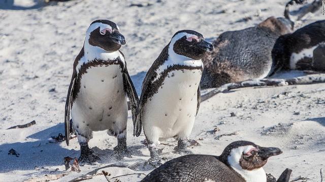 Loài chim cánh cụt này cũng đang phải đối mặt với nguy cơ tuyệt chủng do việc mất sinh cảnh môi trường sống cũng như lượng thức ăn bị giảm sút đáng kể
