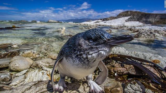 Chim cánh cụt xanh hay cánh cụt thần tiên là loài nhỏ nhất trong thế giới chim cánh cụt. Chúng thường sống ở khu vực bờ biển Australia và New Zealand. Thông thường, chúng chỉ nặng từ 1-2kg và cao khoảng 30cm.