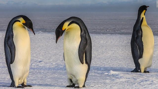 Trên thế giới có 17 loại chim cánh cụt khác nhau và chim cánh cụt hoàng đế là loài lớn nhất. Nó có thể đạt tới chiều cao 120cm và nặng 45kg.