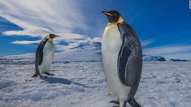 25/4 là ngày chim cánh cụt thế giới. Tuy nhiên, loài động vật này đang phải đối mặt với nguy cơ tuyệt chủng chưa từng có trên phạm vi toàn cầu.