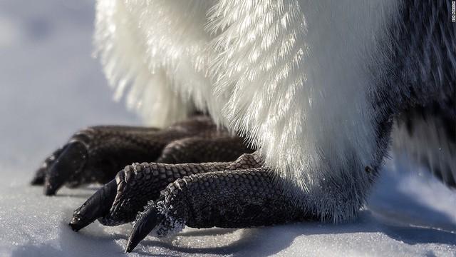 Chim cánh cụt hoàng đế có thể được tìm thấy tại khu vực bờ biển Nam Cực. Mùa sinh sản của chúng thường là thời điểm thu hút du khách đến tham quan trên những con tàu du lịch hay các phi cơ riêng. Ngoài ra, chim cánh cụt cũng có thể được phát hiện tại Nam Phi, Chile, Argentina, Australia và New Zealand.