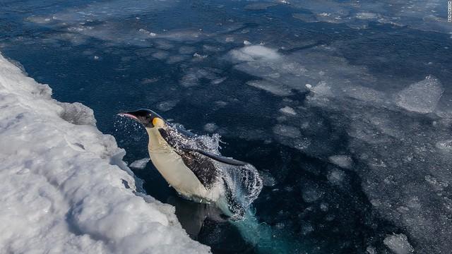 Là cư dân đông đảo nhất tại vùng cực, chim cánh cụt đang cảm nhận rõ hơn những tác động của biến đổi khí hậu. Băng tan làm chúng mất đi các khu vực sinh sản cũng như việc khai thác hải sản quá mức đang làm cạn kiệt nguồn thức ăn của chúng.