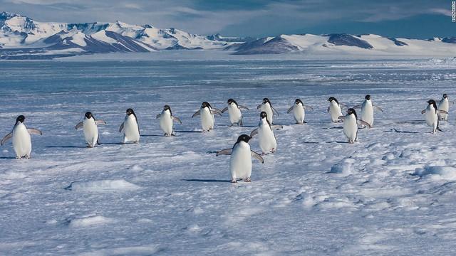 Chim cánh cụt Adelie cũng đang phải hứng chịu những biến đổi khí hậu như chim cánh cụt hoàng đế. Tuy nhiên, vì số lượng loài đông đảo hơn nên nguy cơ tuyệt chủng cũng giảm đi đáng kể.