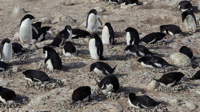 Chim cánh cụt Adelie là một trong những loài có số lượng đông đảo nhất. Chúng thường sống trên các khu vực lãnh thổ rộng lớn, các khối băng hay vùng ven biển Nam Cực.