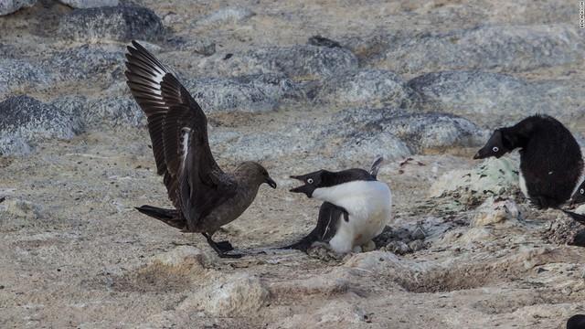 Mòng biển phương Nam là những kẻ thù chính của chim cánh cụt Adelie khi chúng luôn cố gắng tấn công trứng và ăn thịt con non. Do vậy, cả đàn thường tập trung tại một chỗ để bảo vệ con non trong mùa sinh sản.