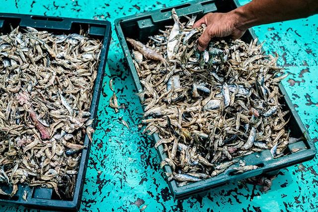 Loại cá cơm được sử dụng tạo ra nước mắm Phú Quốc