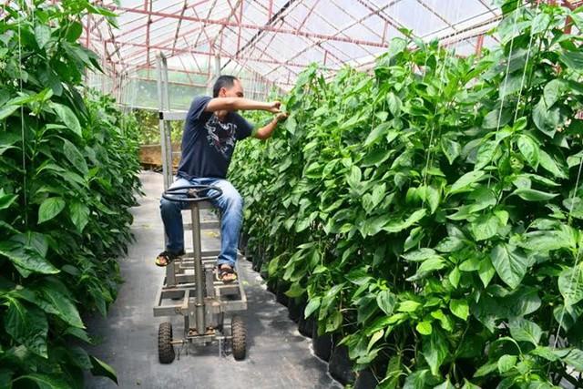 Anh Nguyễn Đức Duy bên vườn ớt ngọt trồng thử nghiệm. Ảnh: Thạch Thảo