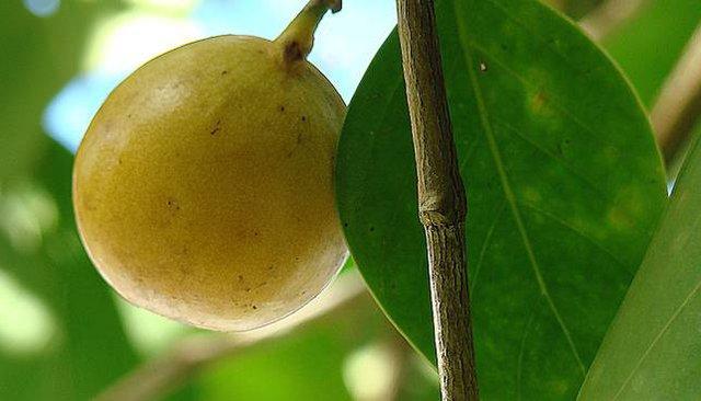 Một quả Manchineel chín trông khá hấp dẫn nhưng nó cực độc.