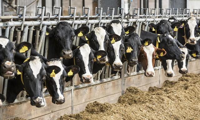 20% lượng khí methane thải ra trên thế giới là từ các trang trại gia súc