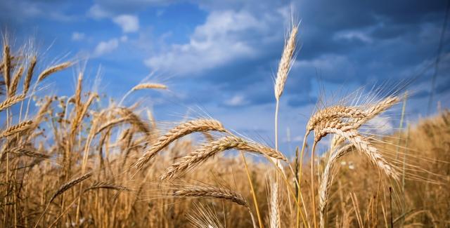 Lúa mạch được chứng minh giúp phòng ngừa béo phì bệnh tim mạch và tiểu đường