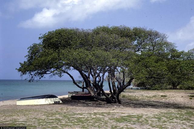 Manchineel giúp bảo vệ bờ biển và chống xói lở