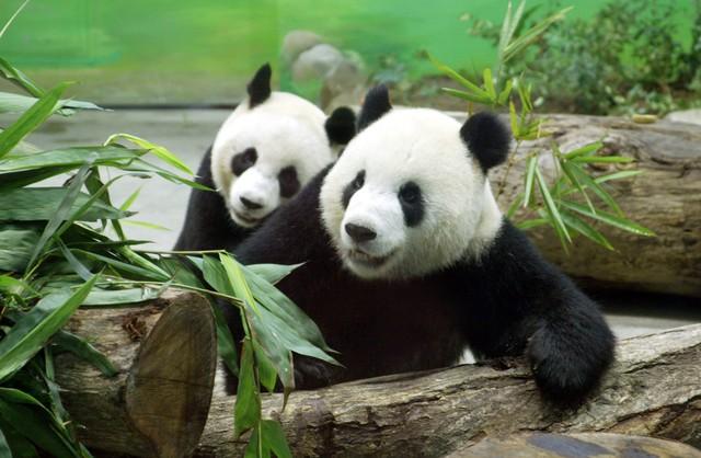 Cô gấu Yuan Yuan.