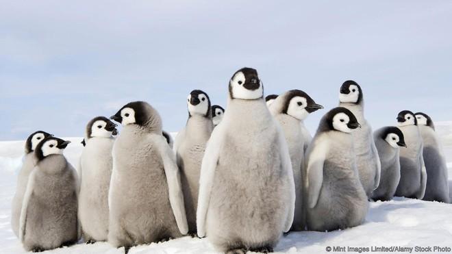 Chim cánh cụt hoàng đế con