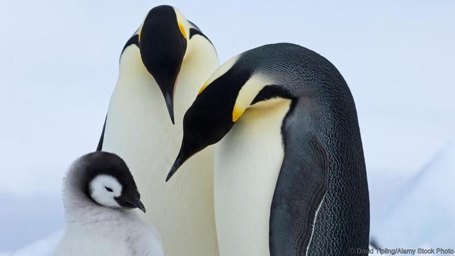 Một cặp chim cánh cụt hoàng đế và con của chúng
