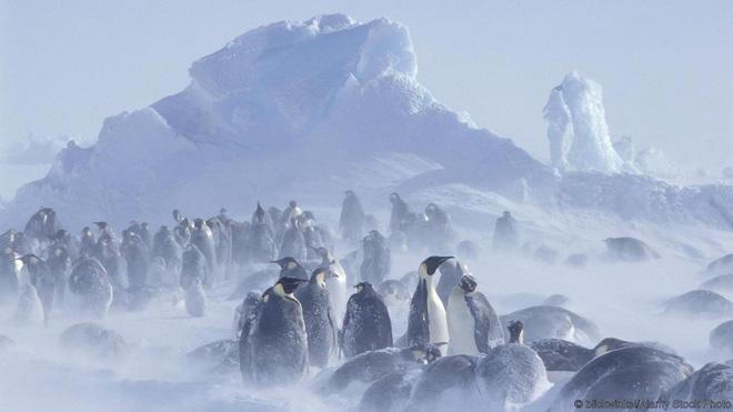 Một bầy cánh cụt trong cơn bão tuyết