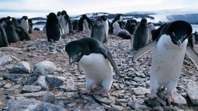 Cánh cụt Adelie cực kì ưa thích những viên đá
