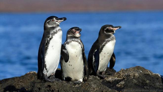 Cánh cụt Galápagos còn sinh sống trên đường xích đạo