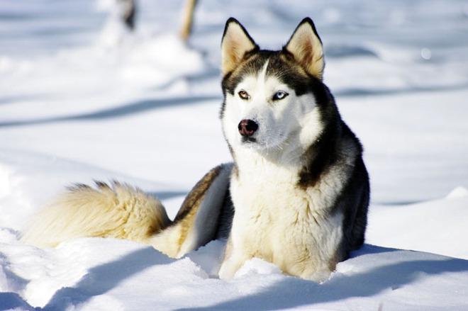Giống chó husky Siberia.