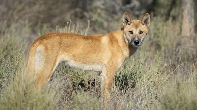 Loài chó hoang dingo tại Úc mà tổ tiên của chúng có thể là loài chó Đông Á.
