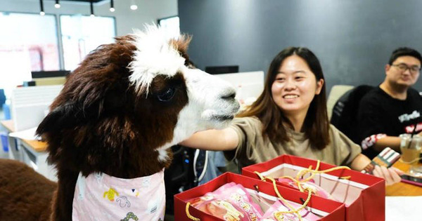 """Công ty Trung Quốc """"thuê"""" lạc đà để giúp nhân viên của mình thư giãn"""