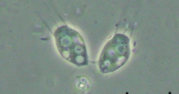 Các nhà khoa học vừa phát hiện hai loài sinh vật đầu tiên ăn virus, và điều đó có ý nghĩa cực kỳ quan trọng