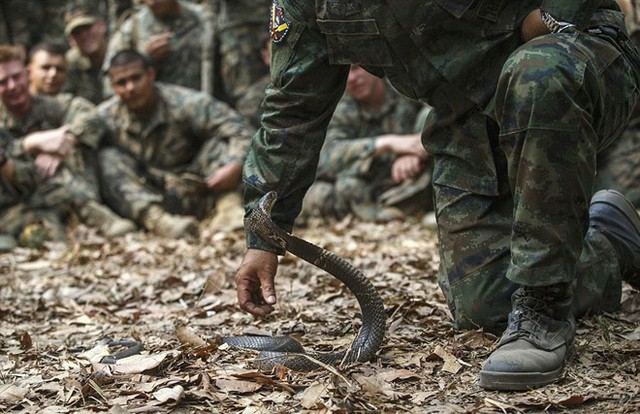 Huấn luyện viên Thái Lan hướng dẫn cách bắt một con rắn hổ mang.Bài viết:http://news.zing.vn/Binh-si-uong-mau-ran-ho-mang-nhai-bo-cap-de-sinh-ton-post391714.html#home_cate.tinphuNguồn Zing News