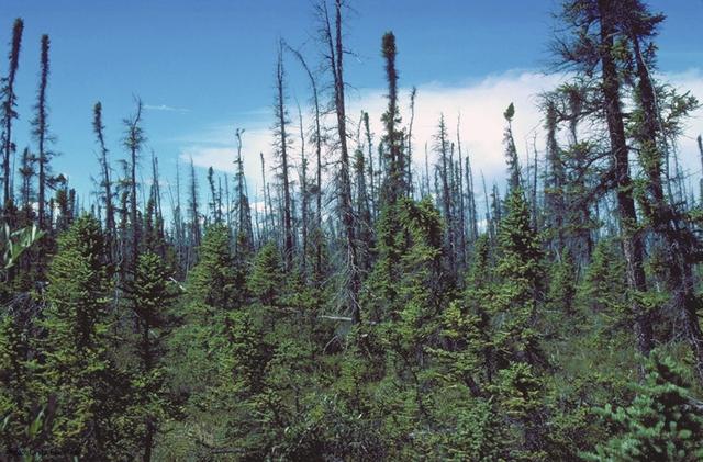 Tập tin:Picea mariana taiga.jpg