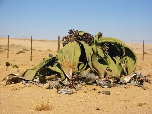 Kỳ lạ những loài thực vật sống nghìn năm
