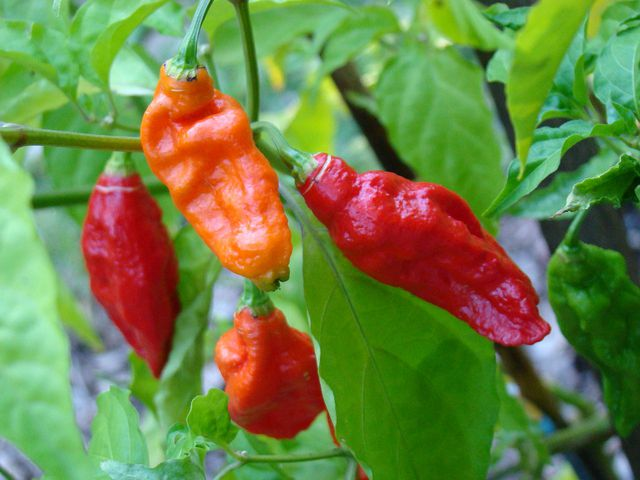 Ớt ma, ớt rồng đỏ Naga hay Bhut Jolokia là loại ớt đước xếp vào hàng cay nhất trên thế giới