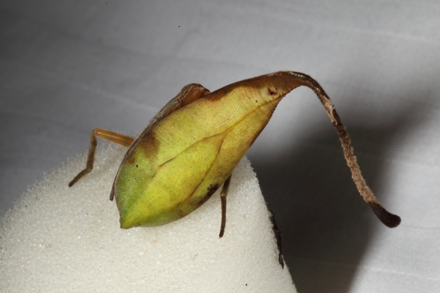 Sau khi biết về loài nhện ngụy trang này, bạn sẽ nghi ngờ tất cả những chiếc lá khô mà mình nhìn thấy - Ảnh 1.