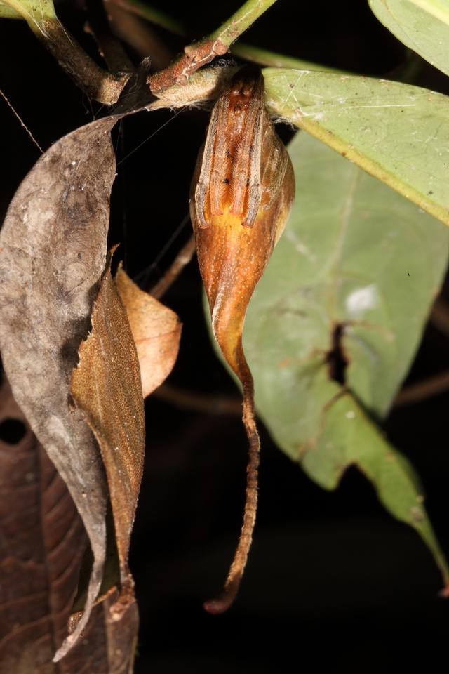Sau khi biết về loài nhện ngụy trang này, bạn sẽ nghi ngờ tất cả những chiếc lá khô mà mình nhìn thấy - Ảnh 2.