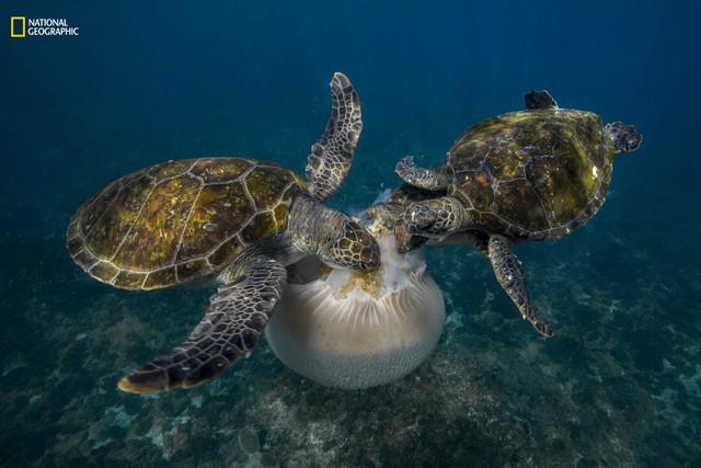 Bức ảnh được tác giả chụp khi đang lặn ở Vịnh Byron, Australia. Đầu tiên anh nhìn thấy một con rùa đang ăn sứa. Rất nhanh, thêm hai chú rùa nữa kéo đến và bắt đầu trò chơi kéo co để giành phần của mình. Cũng vì mải ăn mà hai chú rùa không hề để ý đến sự có mặt của nhiếp ảnh gia. Sau đó không lâu, những phần nhỏ còn lại của con sứa khổng lồ được những chú cả nhỏ dọn dẹp nốt.