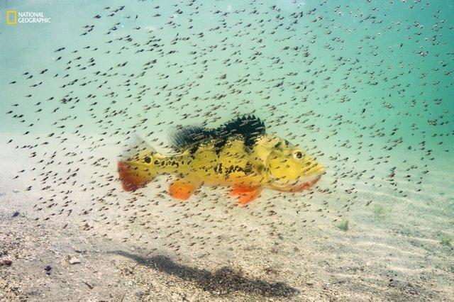 Một con cá hoàng đế cái đang bảo vệ đàn con tại hồ nước ngọt Maiami, Florida. Nó sẽ bảo vệ đàn con khỏi các loài ăn thịt khác cho đến khi chúng đủ lớn. Đây là loài cá nước ngọt nhiệt đới, được mang đến Florida vào giữa những năm 1980 từ Nam Phi để kiểm soát số lượng cá rô phi.