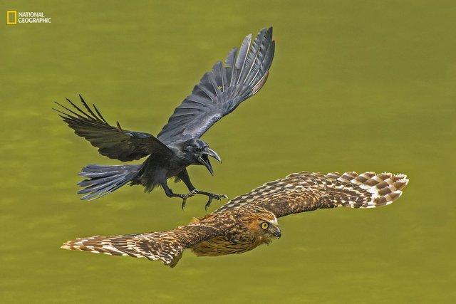 Bức ảnh được chụp vào một buổi chiều đầu tháng 10 dọc theo bờ sông ở Pasir Ris Park, Singapore. Ghi lai cảnh một con quạ trưởng thành tấn công một con cú Buffy, minh chứng cho việc quạ là loài khá hung dữ trong tự nhiên.