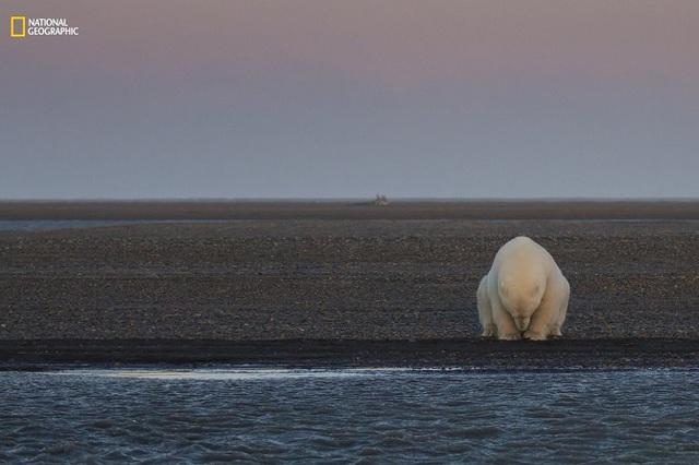 Một chú gấu trắng đơn độc tại đảo Barter ở Alaska vào khoảng thời gian đáng lẽ ra phải có tuyết rơi. Người dân ở đây cho biết họ đã phải trải qua một mùa đông không hề lạnh giá và tuyết rơi muộn. Điều đó đã tác động đến số lượng loài gấu trắng ở đây bởi đây là thời gian để chúng săn hải cẩu, tích trữ cho những tháng mùa đông.