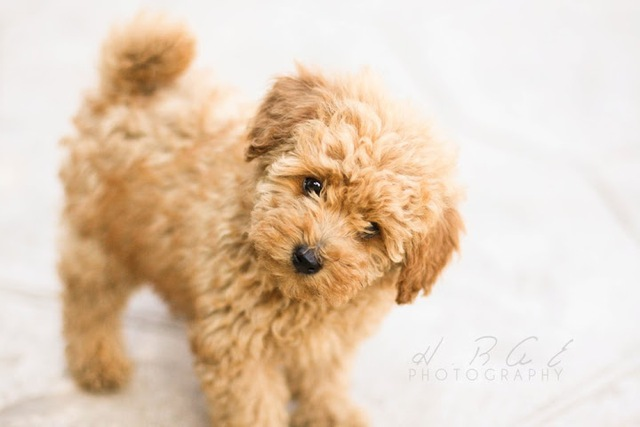 5 giống chó hiền lành thích hợp nuôi để làm bạn, đi dạo không cần rọ mõm - Ảnh 2.