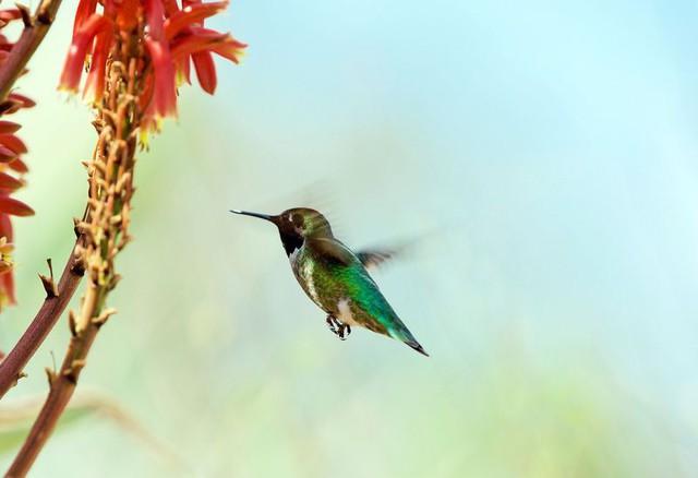 Nghiên cứu trao đổi chất ở chim ruồi có thể mở ra những bí ẩn cho con người