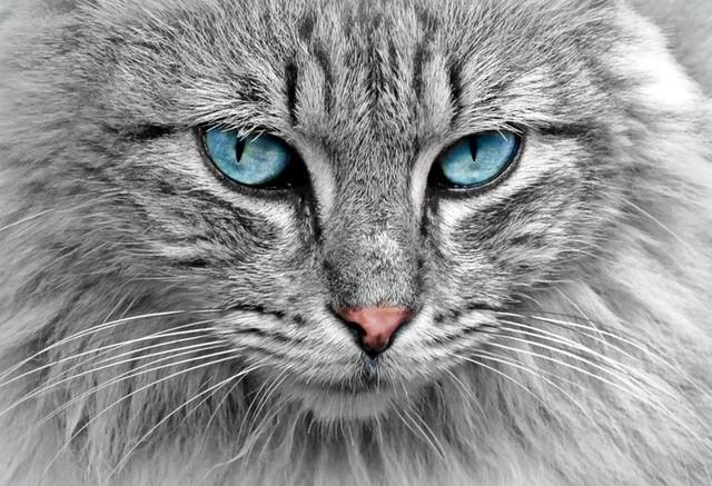 Thật khó để nói chính xác con mèo đang nhìn vào cái gì.