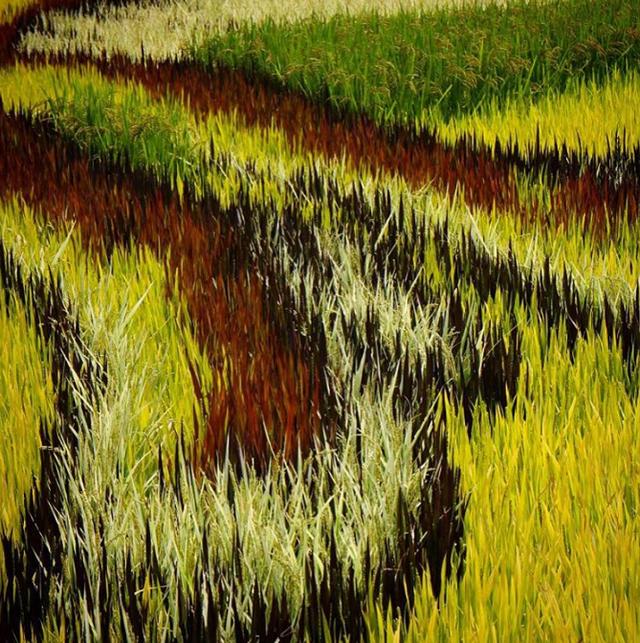Khi bạn đứng trong ruộng thì sẽ chỉ thấy các loại lúa với màu sắc khác nhau chứ không ra hình dáng gì cả.