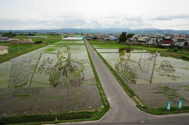 Vài tuần sau, lúa phát triển và hình ảnh ngày càng trở nên nổi bật hơn.